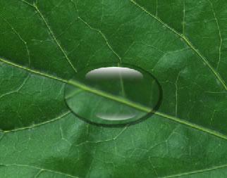 本教程我们来学习,如何使用ps在一片树叶上面画上一滴水珠,让其逼真到
